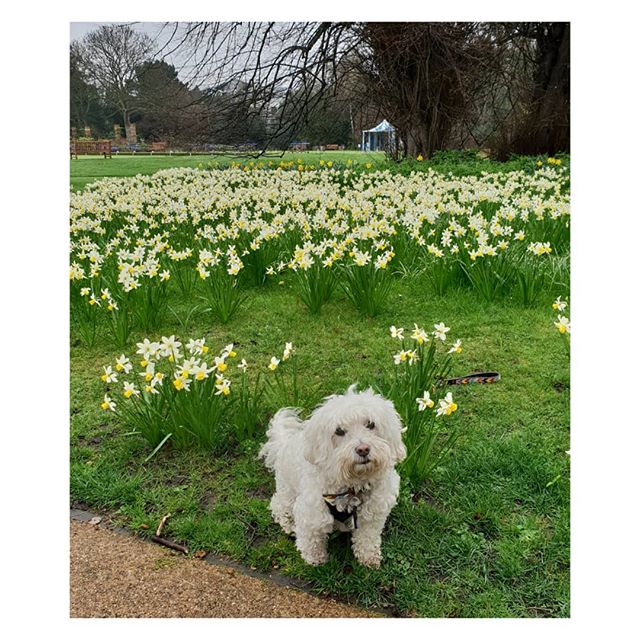 Sunday morning dog walk.  @misslucy_lou posing in the daffs.  x