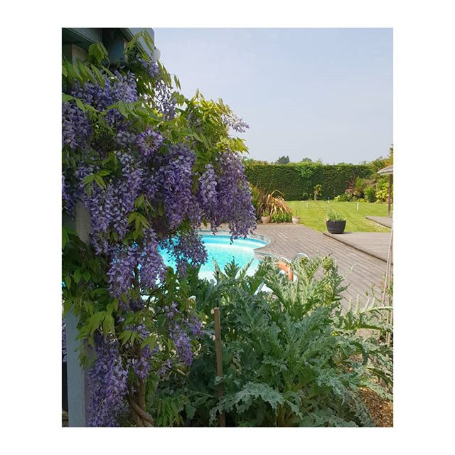 Beautiful Wisteria and artichokes in my Isle of Wight garden.  Gardens and gardening can give so much pleasure.  Especially when the results look like this. . . . . . .