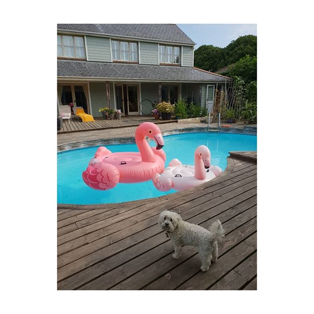 """I'm not amused! Who invited these Flamingos into my hoooman's pool?"" Giant inflatable flamingo added to our pool toys. However @misslucy_lou is very suspicious of him especially he is very big-over 2 metres! (Room for 2 of us to lie on him- no dogs allowed) sorry Lucy. . . . . x"